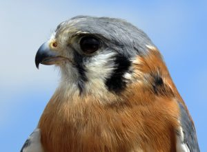 Male Kestrel 720